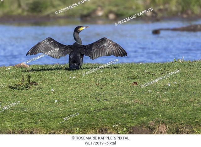 Germany, Saarland, Homburg - A cormorant on a sea near Dillingen in germany