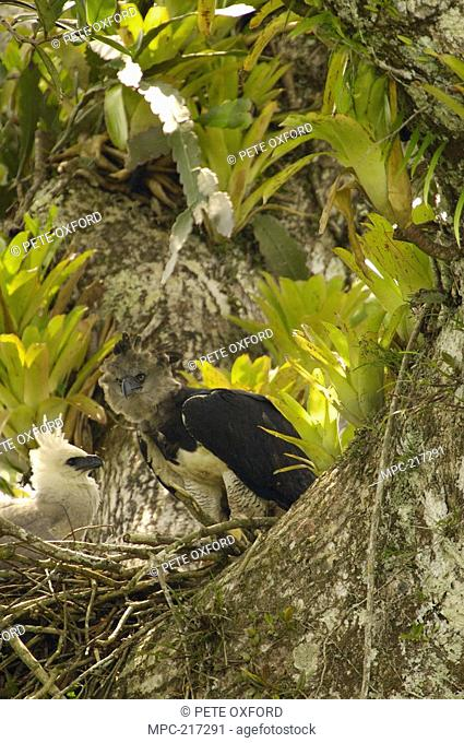 Harpy Eagle Harpia harpyja, mother with five month old chick on nest in Kapok or Ceibo tree Ceiba trichistandra, Aguarico River drainage, Amazon rainforest