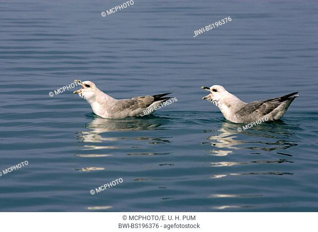 northern fulmar (Fulmarus glacialis), couple calling, Norway