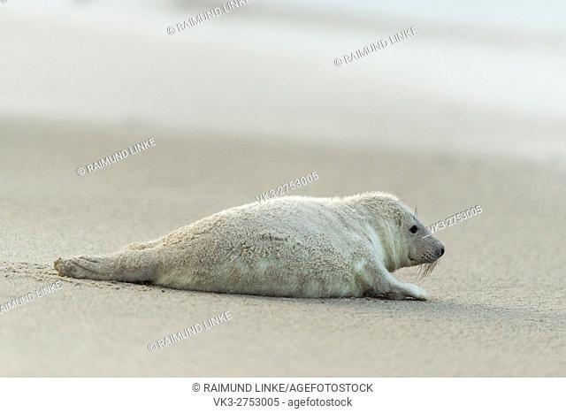 Grey Seal, Halichoerus grypus, Pup After Sandstorm, Europe