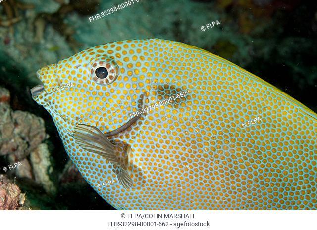 Gold-spotted Rabbitfish Siganus punctatus adult, close-up of head, Sipadan Island, Sabah, Borneo, Malaysia