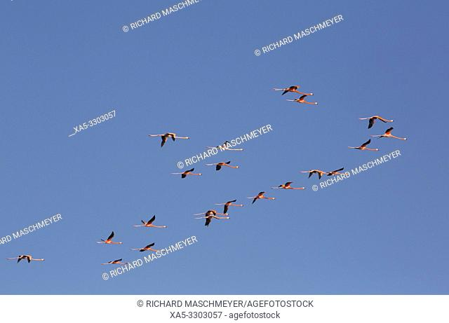 American Flamingos (Phoenicopterus ruber), Celestun Biosphere Reserve, Celestun, Yucatan, Mexico