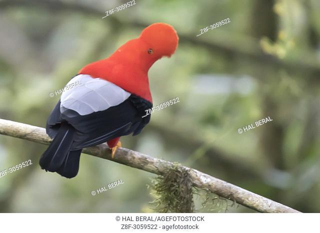 Andean Cock-of-the-Rock male (Rupicola peruvianus). Ecuador
