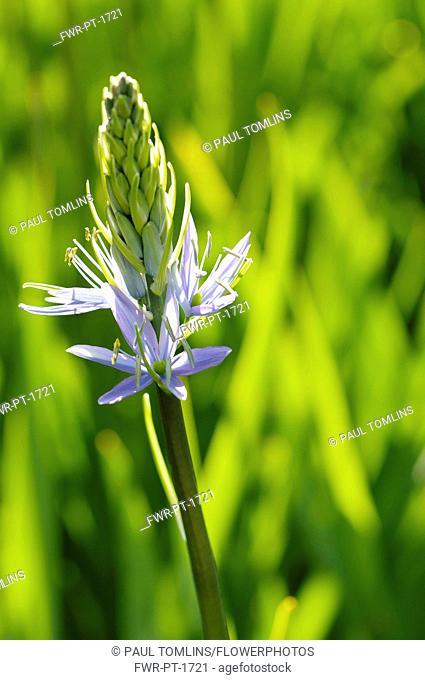 Camassia, Quamash, Camassia leichtlinii, Mauve coloured flowers growing outdoor.-