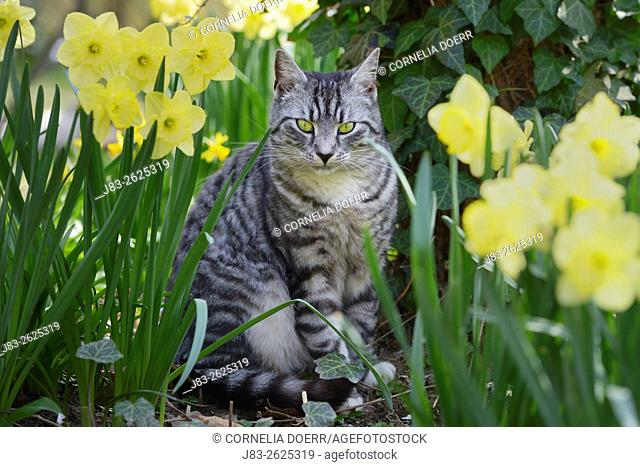 Domestic cat, Tabby juvenile between Daffodils in Spring