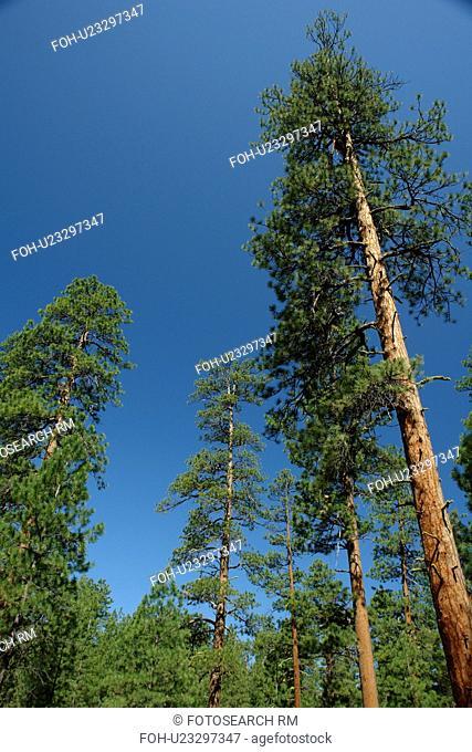 Sister, OR, Oregon, Deschutes National Forest, Ponderosa Pine Trees