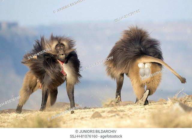 Gelada Baboon (Theropithecus gelada). Two males fighting. Ethiopia