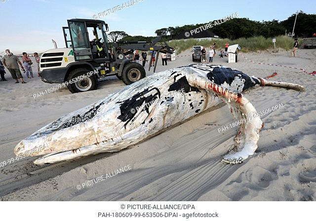 09 June 2018, Germany, Graal-Mueritz: A dead whale is dragged onto a beach at the Baltic Sea. According to experts from the German Oceanographic Museum in...