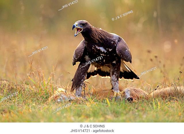 Golden Eagle, (Aquila chrysaetos), adult on ground with prey calling, Rimavska Sobota, Slovak Republic, Europe