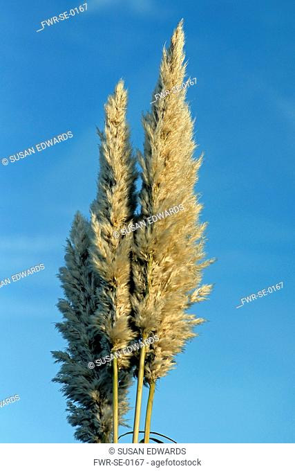 Grass, Pampas grass, Cortaderia selloana, Side view of beige plumes of this tall grass against a blue sky