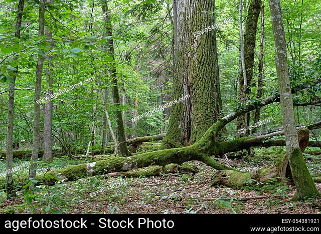 Old monumental english oak tree in summertime decuduous forest, Bialowieza Forest, Poland, Europe