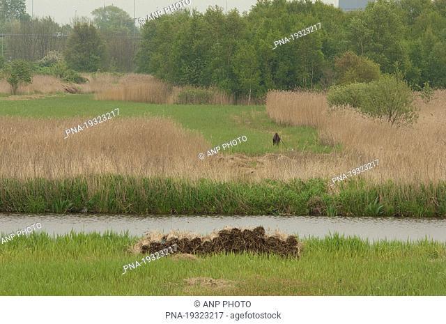 Common Reed Phragmites australis - Polder Westzaan, Guisveld, Zaanstreek, North Holland, The Netherlands, Holland, Europe