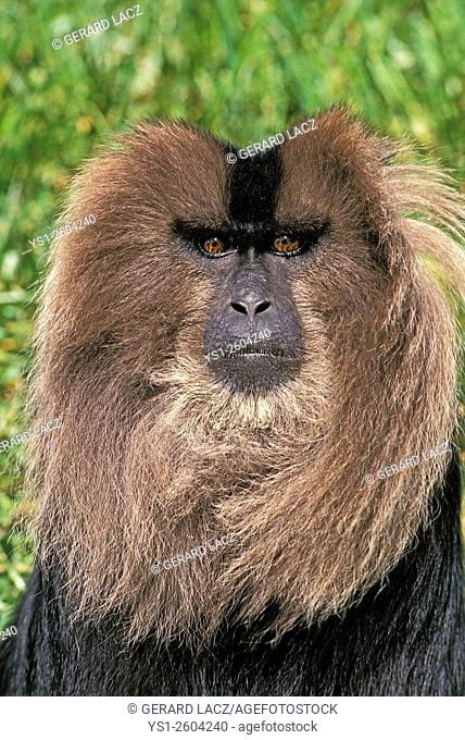Lion Tailed Macaque, macaca silenus, Portrait of Adult, Asia