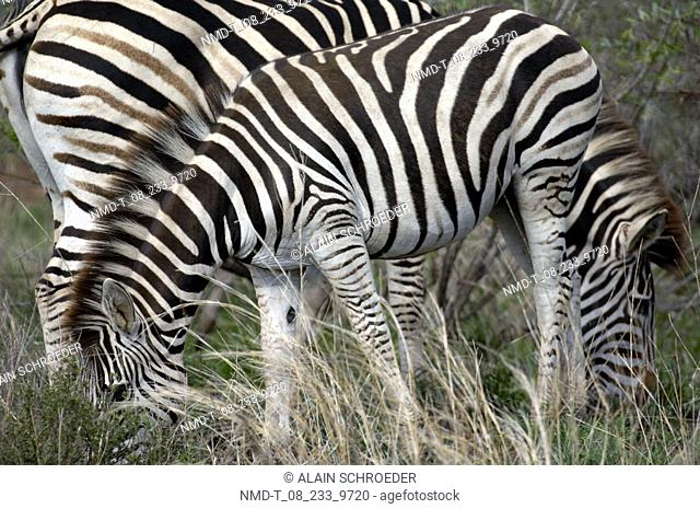 Two zebras grazing in a field Equus Burchellii, Kruger Park, South Africa