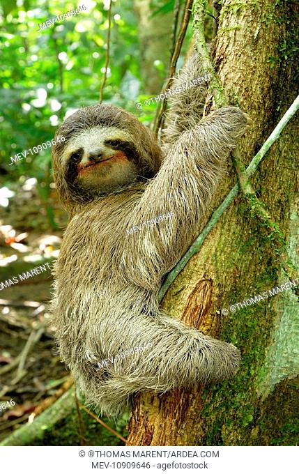 Brown-throated Three-toed Sloth - Hanging from tree (Bradypus variegatus). Cahuita National park - Atlantic Ocean - Costa Rica