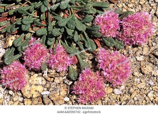Pussypaws with Flowers (Calyptridium umbellatum), John Muir W.A., CA