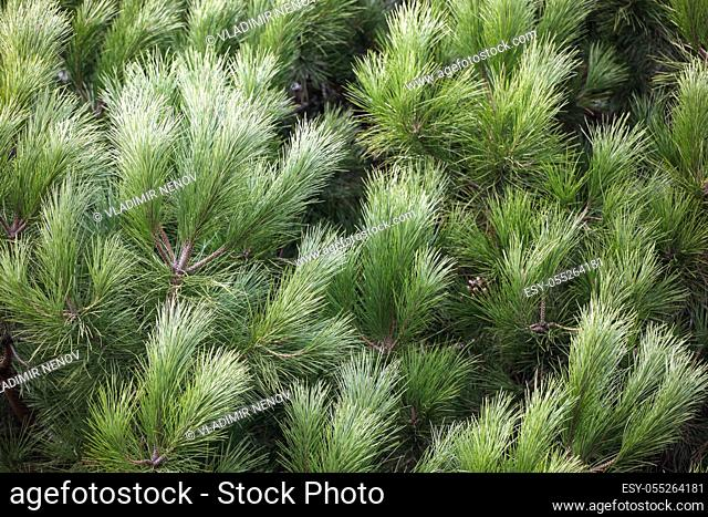 Close-up of bright green pine tree branches