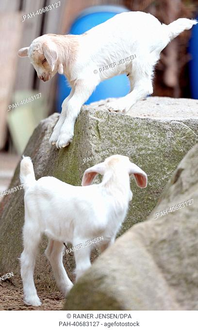 Two one-week old goats play at the goat farm in Berlin-Charlottenburg, Germany, 29 June 2013. The goat enclosure, where children and their parents can view and...