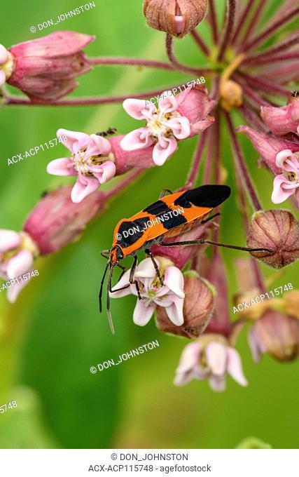 Large milkweed bug (Oncopeltus fasciatus) probing common milkweed flowers, Greater Sudbury, Ontario, Canada