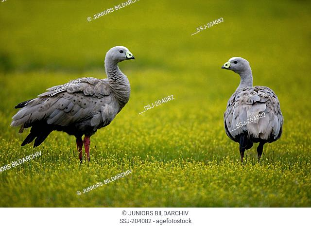 Cape Barren Goose (Cereopsis novaehollandiae). Two adults standing on a meadow. Kangaroo Island, Australia