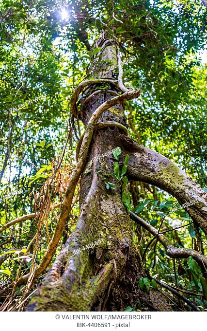 Tree with aerial roots and vines in jungle, Rainforest on Koh Rong Sanloem island, Krong Preah Sihanouk, Sihanoukville, Cambodia