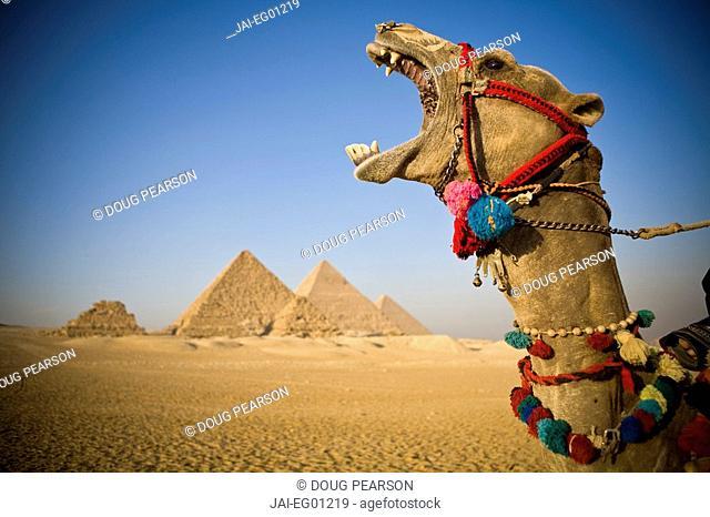 Camel at the Pyramids, Giza, Cairo, Egypt