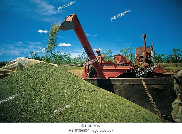 Agriculture, Mung beans harvest, Australia