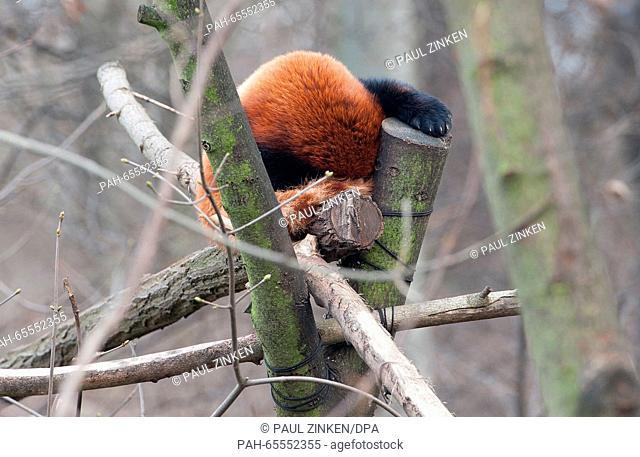 A red panda sleeping in a tree at the Tierpark zoo in Berlin, Germany, 31 Janaury 2016. PHOTO: PAUL ZINKEN/DPA | usage worldwide
