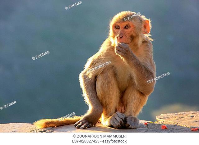 Rhesus macaque sitting near Galta Temple in Jaipur, Rajasthan, India