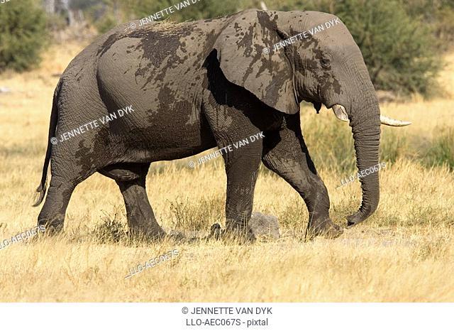 African Elephant Loxodonta africana Walking Across Bushveld Plains  Moremi Wildlife Reserve, Okavango Delta, Botswana