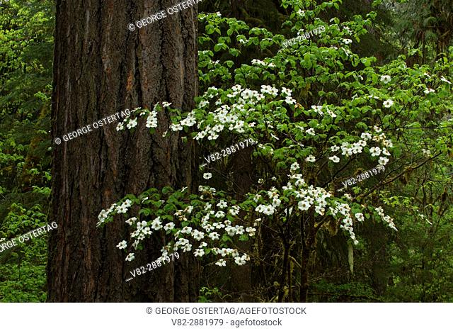 Pacific dogwood at Delta Campground, Willamette National Forest, Oregon