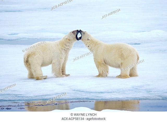 Adult male polar bears Ursus maritimus interacting, Svabard Archipelago, Norwegian Arctic