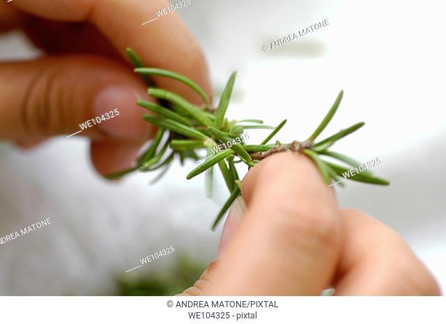 Fingers holding rosemary sprig