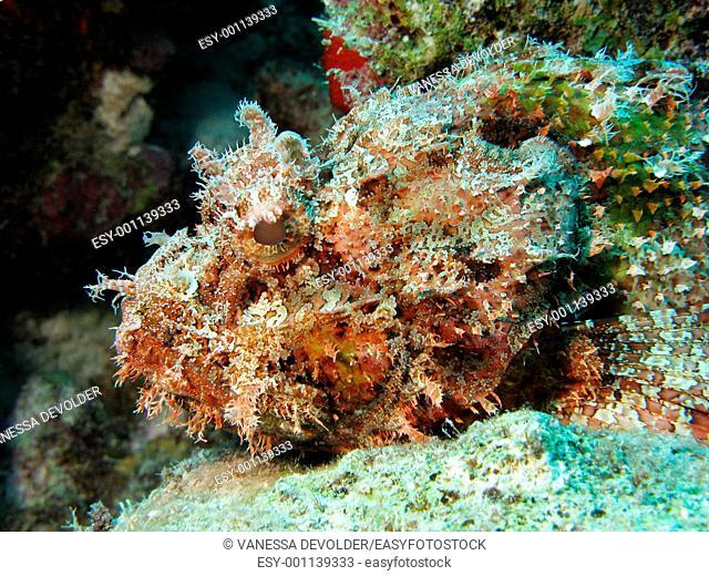 The head of a scorpionfish in Bonaire, Dutch Antilles