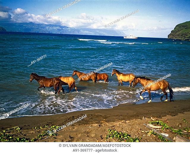 Horses going swimming in sea. Ua-Uka island .Marquesas archipelago. French Polynesia