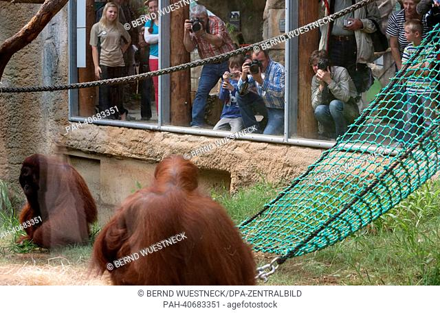 Visitors and photographers watch the excursion of orangutan mother Sundra (C), her daughter (COVERED) and father Ejde in their enclosure at Darwineum in Rostock