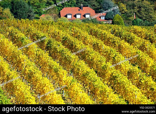 Patterns in vineyards, vineyards, Mont-sur-Rolle, literally Mont on Rolle, Nyon district, canton Vaud, Switzerland, Europe