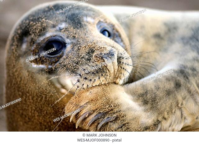 Portrait of Grey seal, Halichoerus grypus, with sandy snout