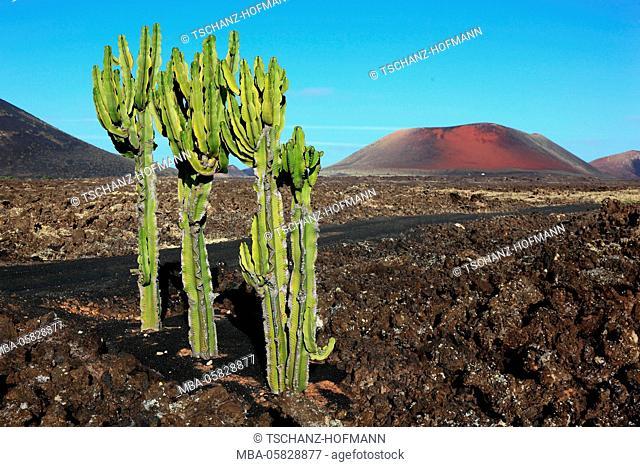 Montana Caolorada, Parque Natural de los Vulcanes, scenery in Montano Colorada, coloured mountain, dead volcano, Lanzarote, Canary islands, Spain, Euphorbien