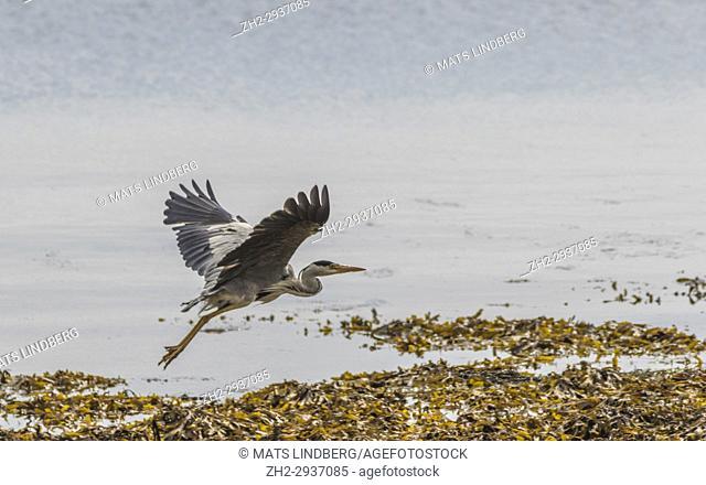 Grey heron, Ardea cinerea, flying over a shore of seaweed, Islay, Scotland