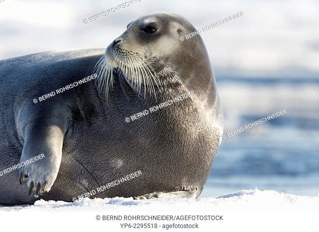 Bearded Seal (Erignathus barbatus) lying on ice floe, Hinlopenstretet, Spitsbergen, Svalbard