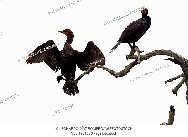 Cormorants at Rio Lagartos Natural Park: A place to watch wildlife and flamingos, Yucatan, Mexico