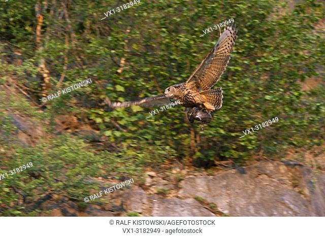 Northern Eagle Owl ( Bubo bubo ) in flight with prey for its chicks, flies along the crag of an old quarry, wildlife, Germany.
