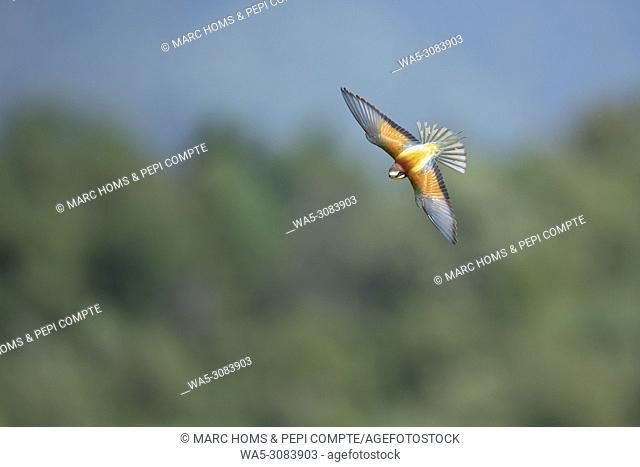 European Bee Eater flying in Garrotxa, Catalonia, Spain