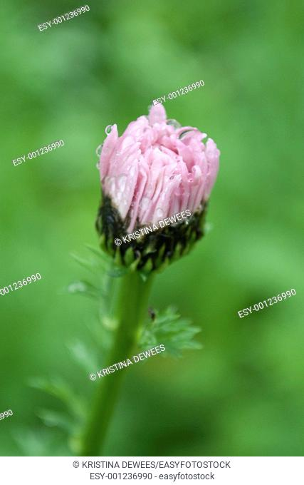 A pink Pyrethrum Daisy bud after the rain