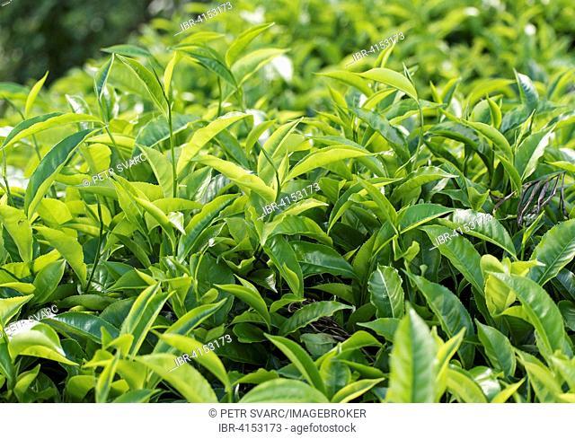 Fresh green tea leaves on bush at plantation, near Ella, Sri Lanka