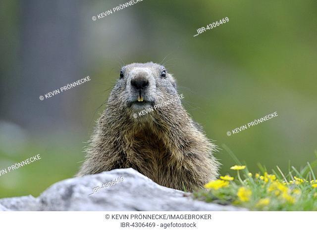Alpine marmot (Marmota marmota) behind rock, portrait, Dachstein Salzkammergut, Austria
