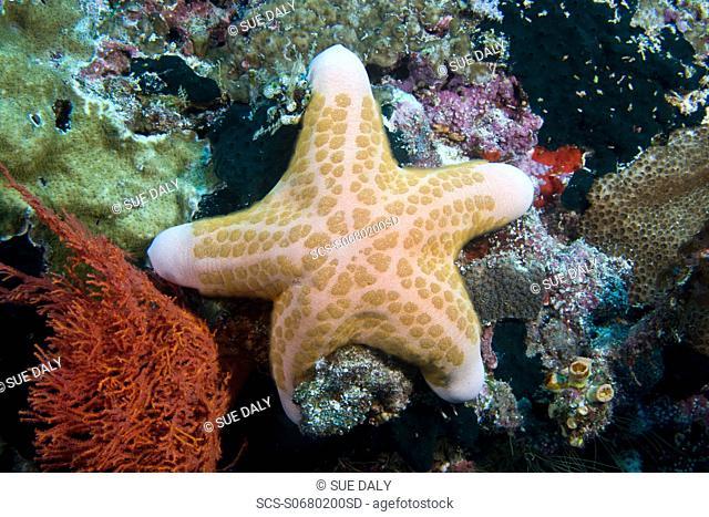 Starfish Choriaster grannulatus