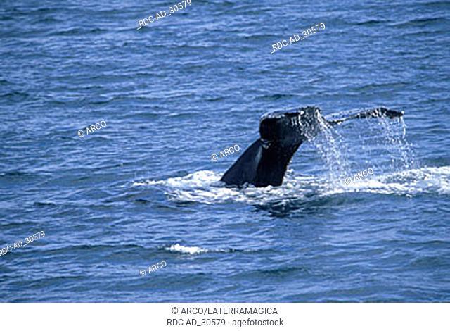 Humpback Whale tail fin Gerlache Strait Antarctica Megaptera novaeangliae