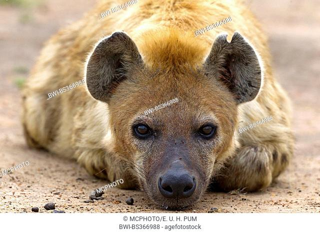 spotted hyena (Crocuta crocuta), portrait, lying, Kenya, Masai Mara National Park